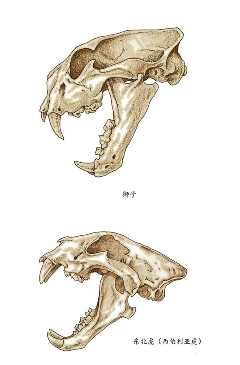 大型猫科动物头骨图例